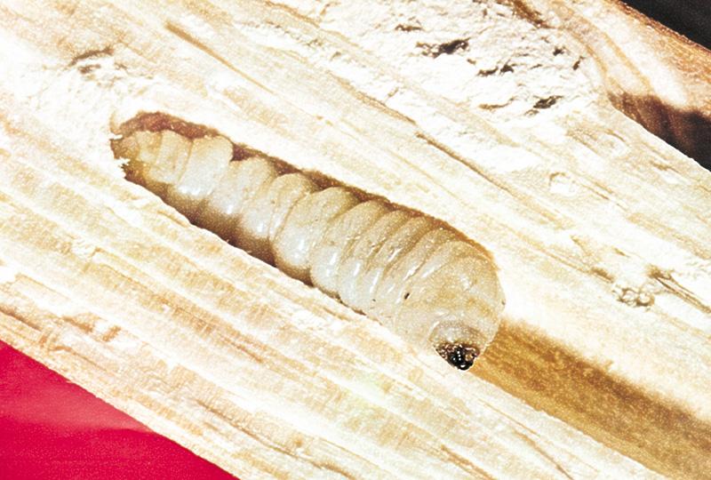 Holzzerst rende insekten for Fliegen larve